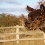Wolds Alpacas